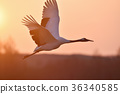 red-crowned, crane, japanese 36340585