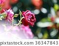 로즈가든, 꽃, 플라워 36347843