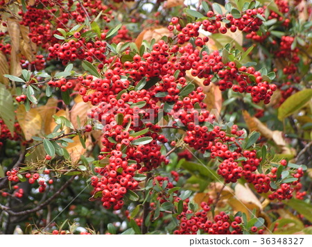firethorn, fruit, red 36348327
