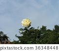 藍天 玫瑰 玫瑰花 36348448