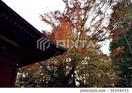 高尾山 高尾山藥王院 楓樹 36348453