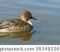 針尾鴨 棕色 褐色 36349336