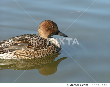 northern pintail, brown, browns 36349336