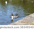 northern pintail, brown, browns 36349340