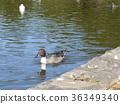 針尾鴨 棕色 褐色 36349340