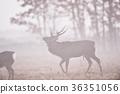 日本鹿 鹿 蝦夷鹿 36351056