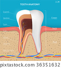 Vector tooth structure.  36351632