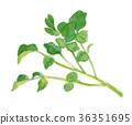 豆瓣菜 水彩 水彩畫 36351695