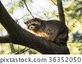 raccoon, wildlife, animal 36352050