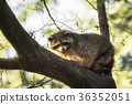 raccoon, wildlife, animal 36352051
