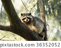 raccoon, wildlife, animal 36352052