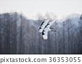 日本吊車 鳥兒 鳥 36353055