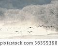 수빙으로 둘러싸인 보금 자리에서 날아 두루미 (홋카이도 鶴居) 36355398
