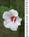 Rose of Sharon flower 36359781