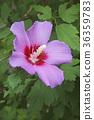 Rose of Sharon flower 36359783