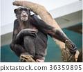 黑猩猩 動物 猭 36359895