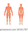 解剖学 身体 肌肉 36361787