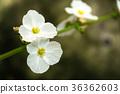 white Arrow Head Amazon Flower  36362603