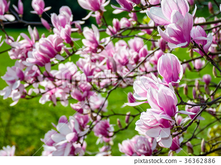 magnolia flowers on a blurry background 36362886