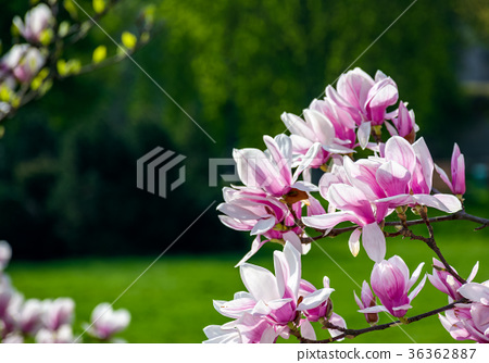 magnolia flowers on a blurry background 36362887