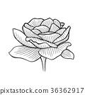 Hand drawn Peony 36362917