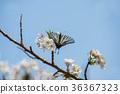 樱花 樱桃树 蝴蝶 36367323