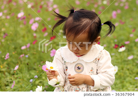 一個亞洲女孩微笑在波斯菊花海摘花 36367904