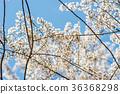 樱花 樱桃树 白色樱花 36368298