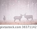 日本鹿 鹿 蝦夷鹿 36371142