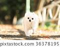 ชีวาวา,สุนัข,สุนัช 36378195