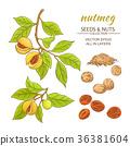 herb, nutmeg, vector 36381604