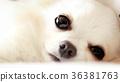 吉娃娃 狗 狗狗 36381763