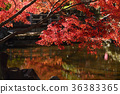 楓樹 紅楓 楓葉 36383365
