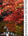 枫树 枫叶 红枫 36383366