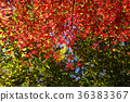 楓樹 紅楓 楓葉 36383367