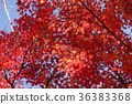 楓樹 紅楓 楓葉 36383368