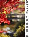 楓樹 紅楓 楓葉 36383369