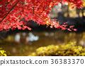 枫树 枫叶 红枫 36383370