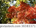 楓樹 紅楓 楓葉 36383371