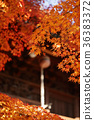 楓樹 紅楓 楓葉 36383372