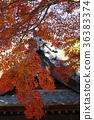 楓樹 紅楓 楓葉 36383374