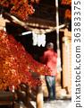 楓樹 紅楓 楓葉 36383375