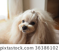 Long-haired mix dog 36386102
