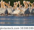 white, danube, pelican 36386386