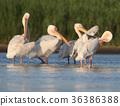 white, danube, pelican 36386388