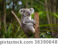 Koala on eucalyptus tree in Australia 36390648