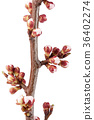 Apricot buds on a branch close-up isolated on 36402274