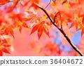 단풍 나무의 단풍 36404672