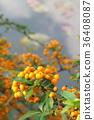 피라칸사 장미, 식물, 열매 36408087