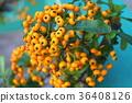 피라칸사 장미, 식물, 열매 36408126